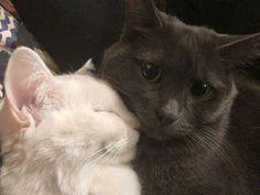 I Love Cats, Cute Cats, Funny Cats, Funny Animals, Cute Animals, Funny Looking Cats, Adorable Kittens, Wtf Funny, Cute Cat Memes