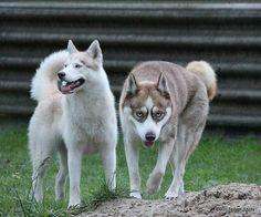 Husky''s