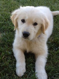 English Cream Golden Retriever...the first must have for our new home