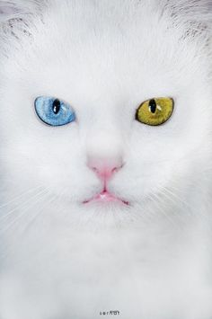 white cat with blue eye and green eye
