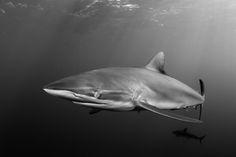 2.-JDLR-silky-shark-4.jpg (3194×2132)