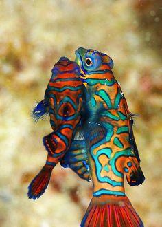 Mandarin Fish #TropicalFishSaltwater