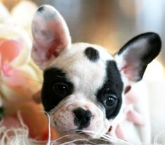 French Bulldog Puppies For Sale, dogs for sale 3000.00