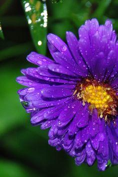 Free download of this photo: https://www.pexels.com/photo/purple-petaled-flower-87454/ #flower #macro #bloom