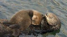 Otter 501 and surrogate mom, Toola