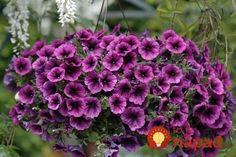 Tajomstvo úspechu pri pestovaní petúnie je jednoduché: veľká kapacita + dostatočné napájanie + odstránenie vyblednutých kvetov.    1. Koreňový systém petúnie je veľmi silný, takže potrebuje veľa pôdy: 5 litrov pôdy na rastlinu. Kontajner alebo nádobu s Landscape Design, Garden Design, Outdoor Plants, Trees To Plant, Container Gardening, Wild Flowers, Nature Photography, Home And Garden, Wall Trellis