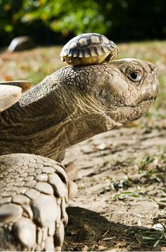 2.19.15 | A four-day-old African spurred tortoise sits on the head of its mother in Nyiregyhaza Animal Park Hungary