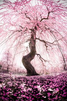 Suzuka, Mie, Japan - One of the tallest kinds of Japanese plum tree. The figure looks like an angel tries to fly against the sun. Around the tree, there was no one. In the silent plum tree forest, this tree looks like struggling and crying for something. Cherry Blossom Tree, Blossom Trees, Cherry Flower, Beautiful World, Beautiful Places, Beautiful Forest, Beautiful Beautiful, Absolutely Gorgeous, Wonderful Places