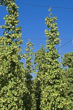 Cascade Hops Plant  $60 - will grow in Florida - harvest 3x per year. Gives beer flavor! Project currently to grow Hops for Local Beer Brewers in Florida - Grow 18ft+ tall - they like their feet wet but their heads dry - Need long days (15 hours) Longest Florida days in June are 13 hours! Mold is a problem for these plants in FL (humidity)