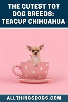 The average litter size of Teacup Chihuahua puppies is between two to five puppies. However, their tiny bodies can make the natural birthing process quite dangerous for the mother. Read our breed guide to find out how to care for this tiny puppy. Teacup Dog Breeds, Chihuahua Breeds, Teacup Chihuahua Puppies, Toy Dog Breeds, Tiny Puppies, Cute Dogs Breeds, Cute Puppies, Chihuahuas, Teacup Pomeranian