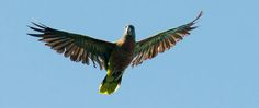 St. Lucian Parrot - Amazona Versicolour | Birdwatching at Anse Chastanet Resort, St. Lucia