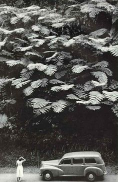 Big leaves, 1959 probably Australia or New Zealand Tree Ferns