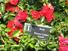 Add the Flower Carpet Rose to your garden this year-U of IL Extension