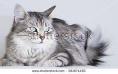 cat lying on the sofa, silver siberian breed