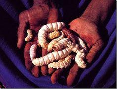 Larvas de vespas: Elas são consumidas cruas ou levemente assadas em cinzas quentes. O hábito de consumi-las vem da cultura aborígene. O gosto assemelha-se ao das amêndoas e, quando assada fica parecida com o sabor de galinha. Este tipo de larva é rico em proteínas.