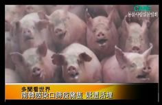 Unglaublich traurig: So grausam werden Tiere immer wieder entsorgt! #LebendigBegraben #Massensterben #Vogelgrippe #MaulUndKlauenseuche #Massentierhaltung