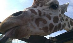 Drive or walk-through the African Safari Wildlife Park - Port Clinton, Ohio. #attraction #travel #giraffe