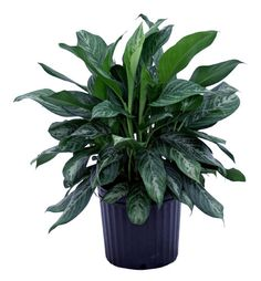 Aglaonema | aglaonema bay series moonlight bay 12 pot aglaonema bay series ...