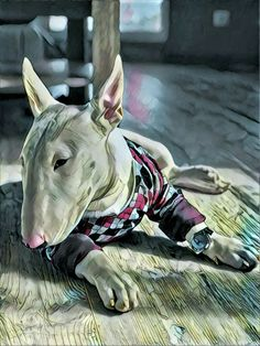 English Bull Terrier lost in thought! :P