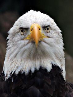 Weisskopfseeadler (American eagle) Bald Eagle, Nest, Tattoo Ideas, Eggs, Birds, Sky, Touch, Photos, Painting