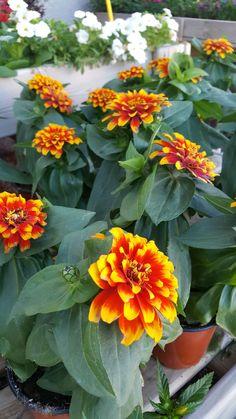 De temporada. Variedad de colores. Alegría para tu Jardín