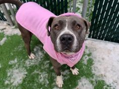 JANIS JOPLIN - 17626 - - Manhattan TO BE DESTROYED 01/13/18 A volunteer writes: It took me a while to decipher Janice. She was hiding in her shy shell. Why?–you would ask. She is so beautiful. She walks nicely, does her business while in the street, sits when requested. Well, at our fourth encounter, Janice started to thaw, put her head in my lap and licked my hands, no treats involved. I discovered and heard, too, that although she does not run after balls, she lov