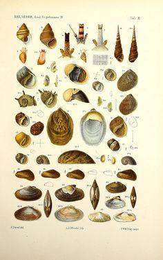 https://flic.kr/p/yd1waQ   n352_w1150   Zoologische Ergebnisse einer reise in Niederländisch Ost-Indien.. Leiden,E.J. Brill,1890-1907.. biodiversitylibrary.org/page/47749067