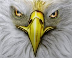 The American bald eagle has been the national bird of the United States since 1782.