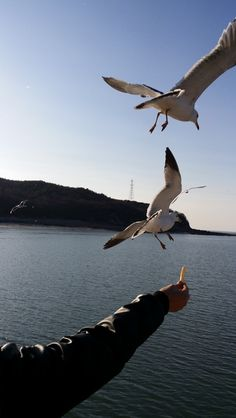 South Korean seagulls being friendly with people...  Dancing Princess Island near Incheon International Airport...December 7 2013
