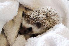 african pygmy hedgehog Happy Hedgehog, Cute Hedgehog, Reptiles And Amphibians, Mammals, Pygmy Hedgehog, Baby Puppies, Pet Accessories, Cute Baby Animals, Animals Beautiful