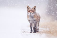 winter, snow and a fox .... what a great day!