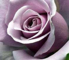 Sterling Silver Rose. My favorite rose.