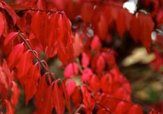 Burning Bush (Euonymus) makes a wonderful ornamental addition to nearly any yard or garden. Here are some tips for growing and caring for burning bush in your landscape. Xeriscape Plants, Shrubs For Landscaping, Garden Shrubs, Landscaping Ideas, Burning Bush Plant, Burning Bush Shrub, Red Shrubs, Front Yard Flowers, Bush Garden