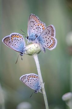 Butterflies...almost looks like a flower huh?  A butterfly flower