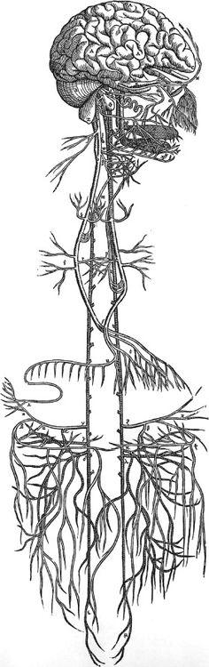 Andreas Vesalius (http://www.pinterest.com/pin/287386019942054803/), De Humani Corporis Fabrica (http://www.pinterest.com/pin/287386019946373890/), Plate 49, 1543.