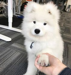 Not sure if it is but this little guy definitely has resemblance to a Vansam (Vanderbilt Samoyed) puppy! So cuteee:) Cute Dogs And Puppies, Baby Dogs, I Love Dogs, Baby Baby, Doggies, Cute Baby Animals, Animals And Pets, Funny Animals, Tierischer Humor