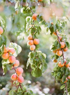 Plants I want: Apricot tree mmm yum Peach Trees, Peach Blossoms, Peach Blossom Tree, Peach Orchard, Apricot Tree, Peach And Green, Sweet Peach, Just Peachy, Oscar Wilde