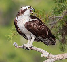 Скопа - Osprey