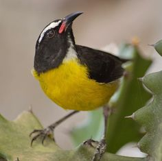 """Bananaquit"" by Judy M Tomlinson Photography. http://www.judymtomlinsonphotography.ca/  #londonontariophotographer #printsforsale #bird #wildlife #st Lucia #carribean"