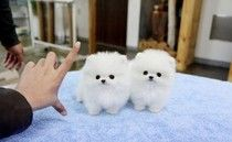 Male & & Female White Tea Cup Pomeranian Puppies For Sale http://www.adsfeast.com/listing/running-springs-dogs-puppies-male-female-white-tea-cup-pomeranian-puppies-for-sale-26531