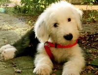 Stanley the Old English Sheepdog puppy - cute!