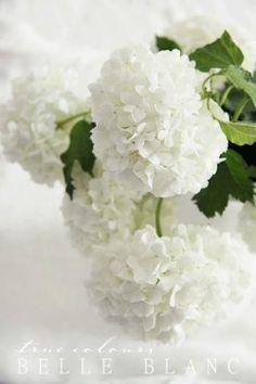White Hydrangea. One of my favorites.