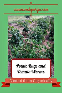 Organic measures to get rid of tomato worms and potato bugs~just tried this, hopefully it works!