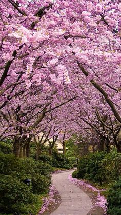 Japanese Cherry Blossom are my favorite type of flower. I love the look of them, the cherry blossom is a reminder of my grandfather who always told me he would give me one on day. Beautiful World, Beautiful Gardens, Beautiful Places, Beautiful Live, Beautiful Nature Wallpaper, Beautiful Landscapes, Cherry Blossom Japan, Cherry Blossoms, Pink Blossom