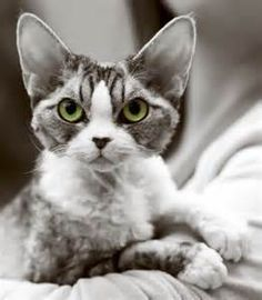 Devon Rex Cats - Yahoo Image Search results