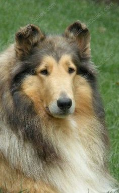 So Noble looking.  Collies have beautiful manes and they need regular weekly brushing to keep their coats unmated and soft.
