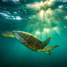 A green turtle dives back towards the bottom to gorge on sea grass along the Abrolhos Reef in Brazil.  To see this turtle taking large mouthfuls of sea grass follow me on @paulnicklen.  I had never seen them graze like this before. // #thinblueline #turtle #brazil #cute #baby #pretty #climatechange #202020 #wildlife #gratitude #explore #nature #smile #love #beauty #adventure #travel @natgeocreative @thephotosociety #instagood #tbt #follow #followme #photooftheday #happy #tagforlikes #beautif...