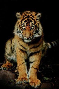 Tiger *
