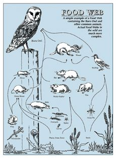 Draw a Barn Owl food chain!   Food Chains & Food Webs ♥ Projects ...