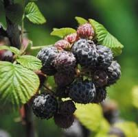 """Rubus ludwigii - The """"Silver Bramble"""" comes from the Drakensberg Mountains of South Africa where it makes small congested shrublets of silvery-green, wrinkled leaves. The white flowers in spring are succeeded by tight clusters of edible, white powdered 'blackberries'."""